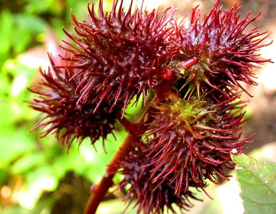 End of a branch with five visible dark red and spiky pods